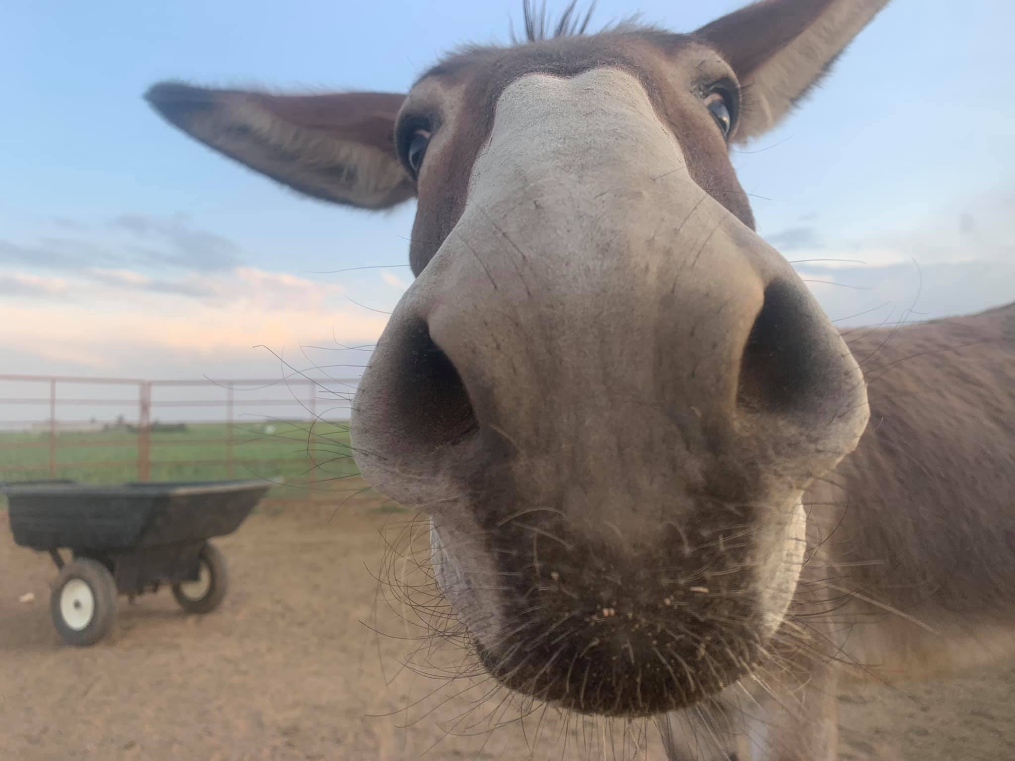 Donkey with Nose close to the camera
