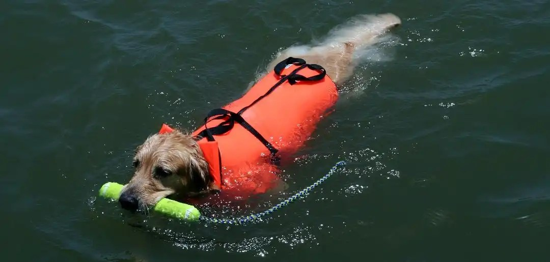 Reasons Why Dogs Need to Wear Life Jacket for Water Activities