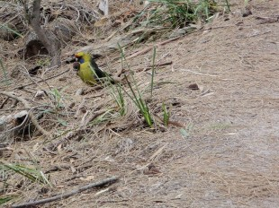 Parrot, Freycinet National Park