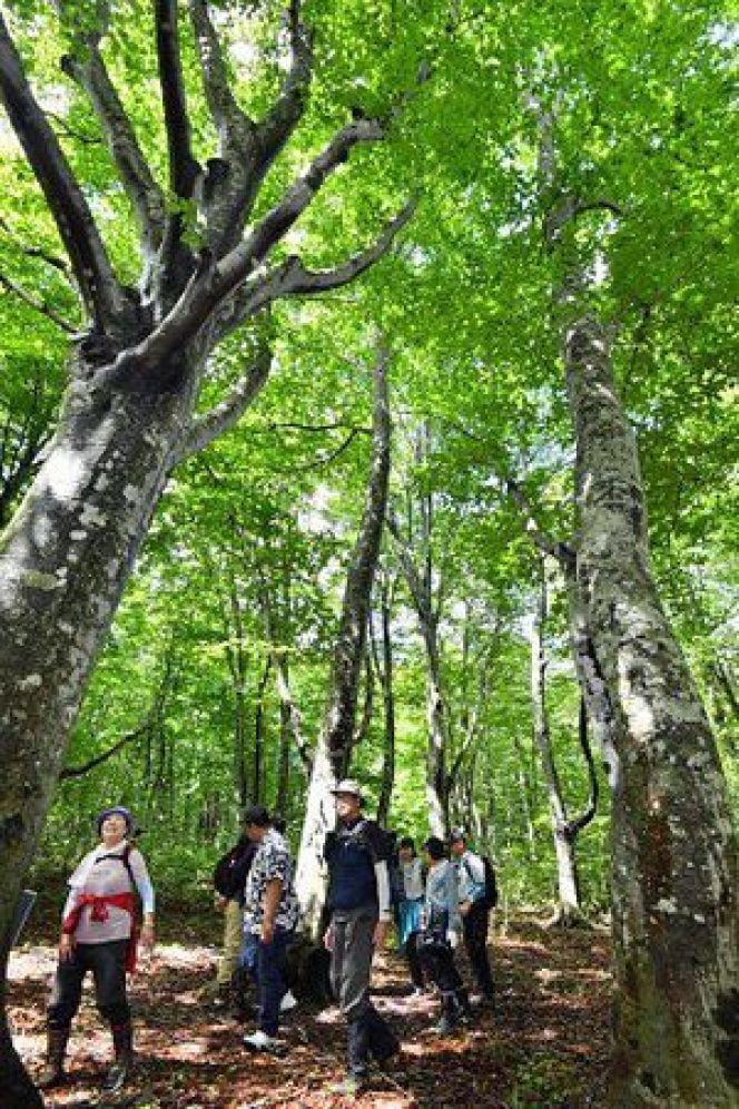 田代高原のブナ林を散策する参加者たち=11日午前、青森市