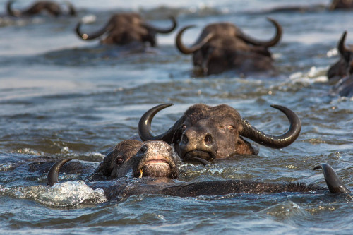 Cape buffalo swimming across Chobe