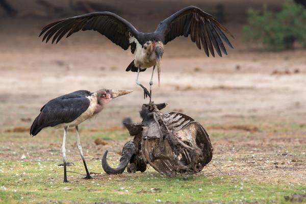 Marabou storks on carcass, Chobe