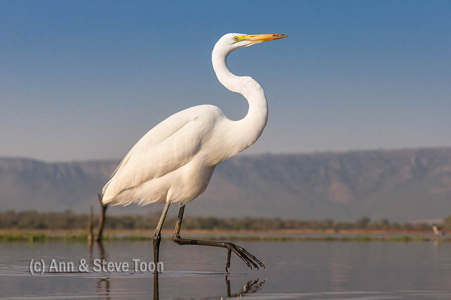 Great egret, Zimanga