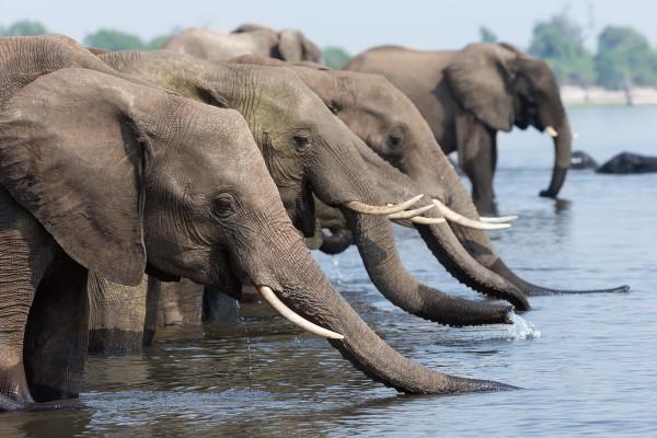African elephants drinking, Chobe