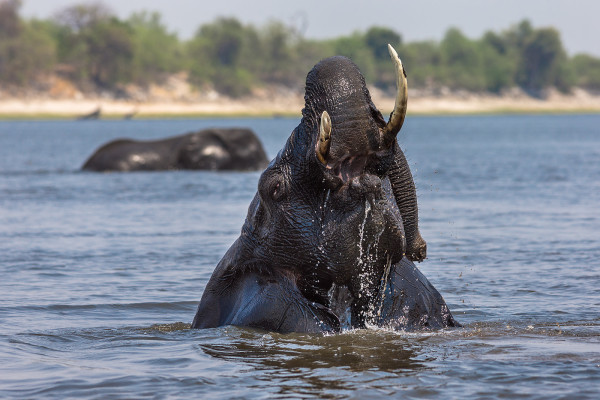 African elephant bull bathing in the Chobe