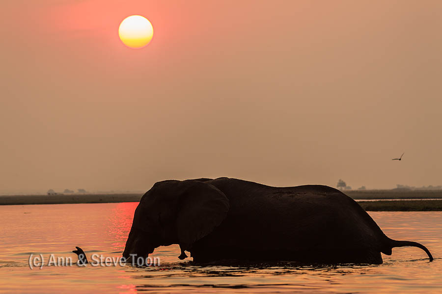 African elephant at sunset, Chobe