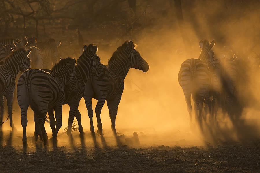 Plains zebra, Zimanga