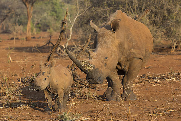 White rhino (Ceratotherium simum) cow with calf, Zimanga private game reserve, KwaZulu-Natal, South Africa, June 2016