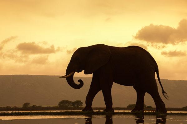 African elephant (Loxodonta Africana) bull at dusk, Zimanga private game reserve, KwaZulu-Natal, South Africa, September 2016