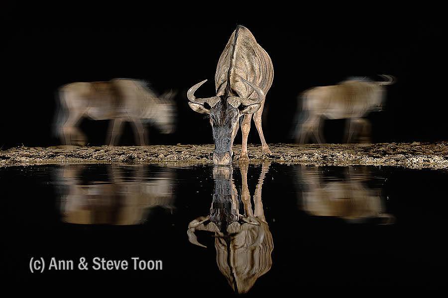 Common wildebeest at Zimanga nocturnal hide