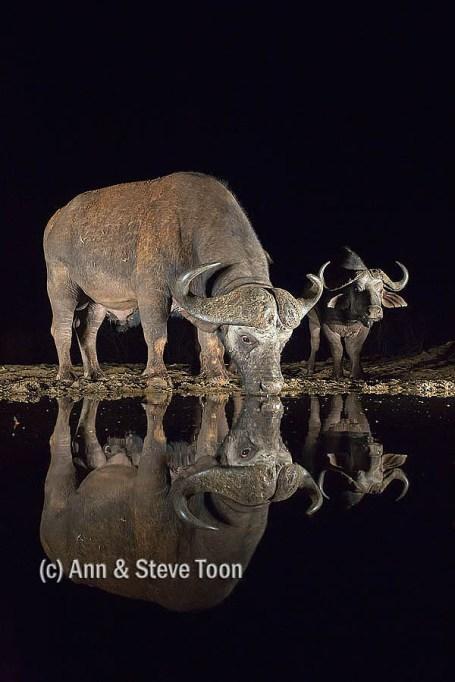 Cape buffalo at Zimanga nocturnal hide