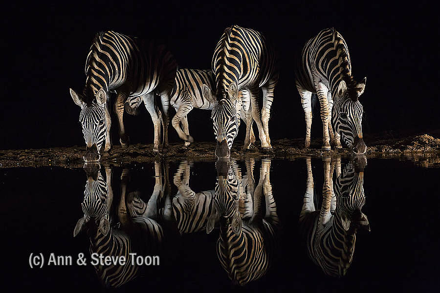 Plains zebra at Zimanga nocturnal hide