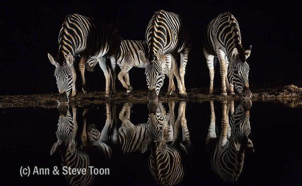 Plains zebra at Zimanga nocturnal hide