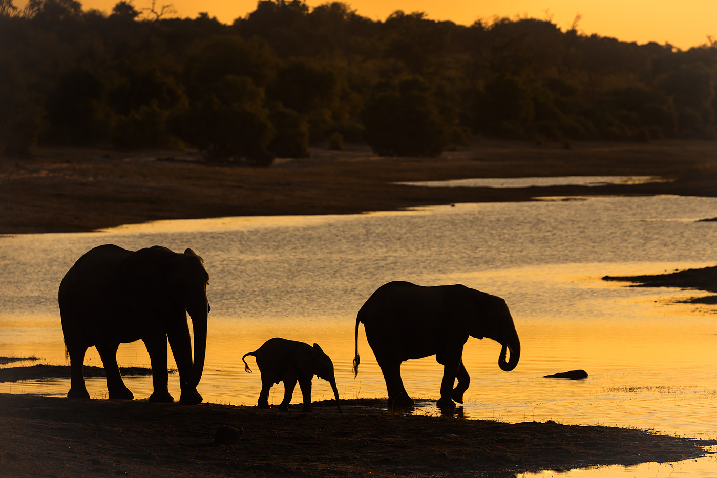 EWlephants on the Chobe at dusk