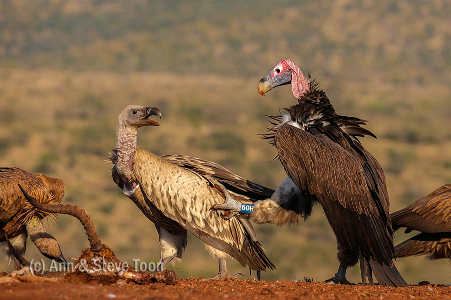 Scrapping over the scraps - a lappetfaced vulture lets a whitebacked vulture know who's boss