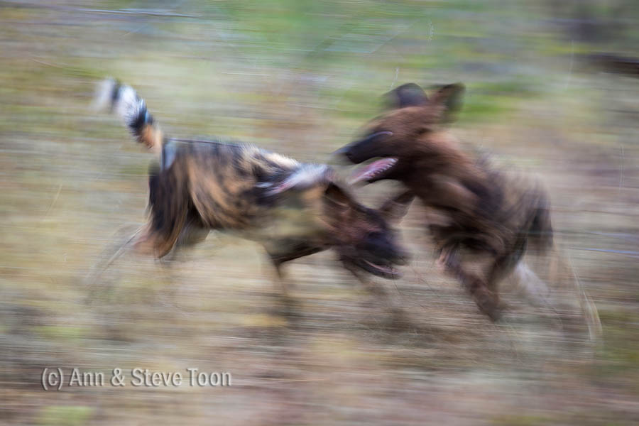 A blur of action - wild dogs playing after a kill