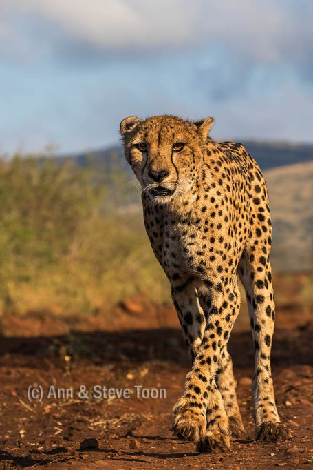 Up close and personal - photographing cheetah from on foot