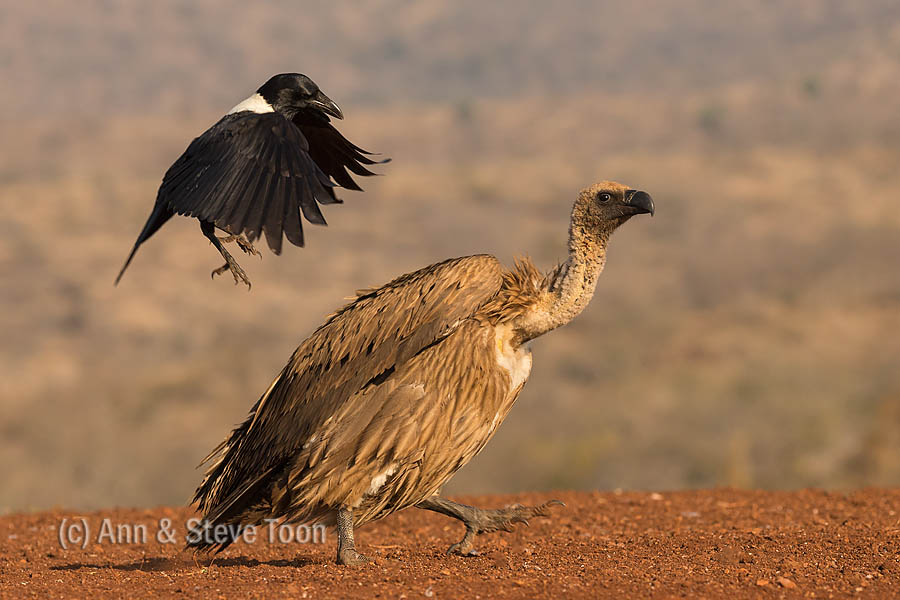 Whitebacked vulture mobbed by pied crow, Zimanga scavenger hide