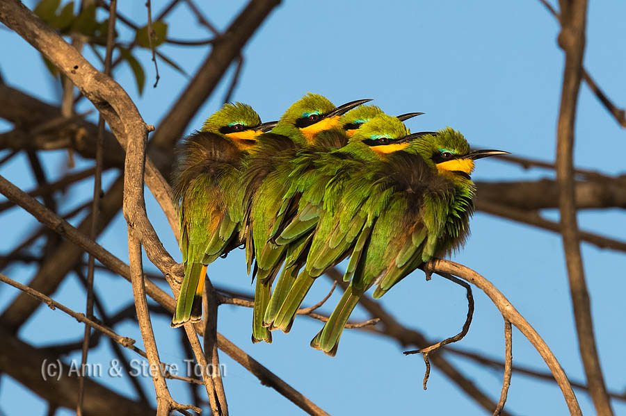Little bee-eaters basking on a cold morning, Chobe river