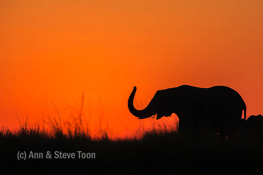 Elephant at sunset, Chobe