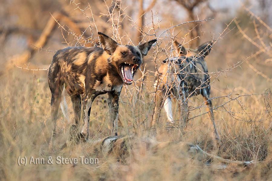 African wild dog, Zimanga