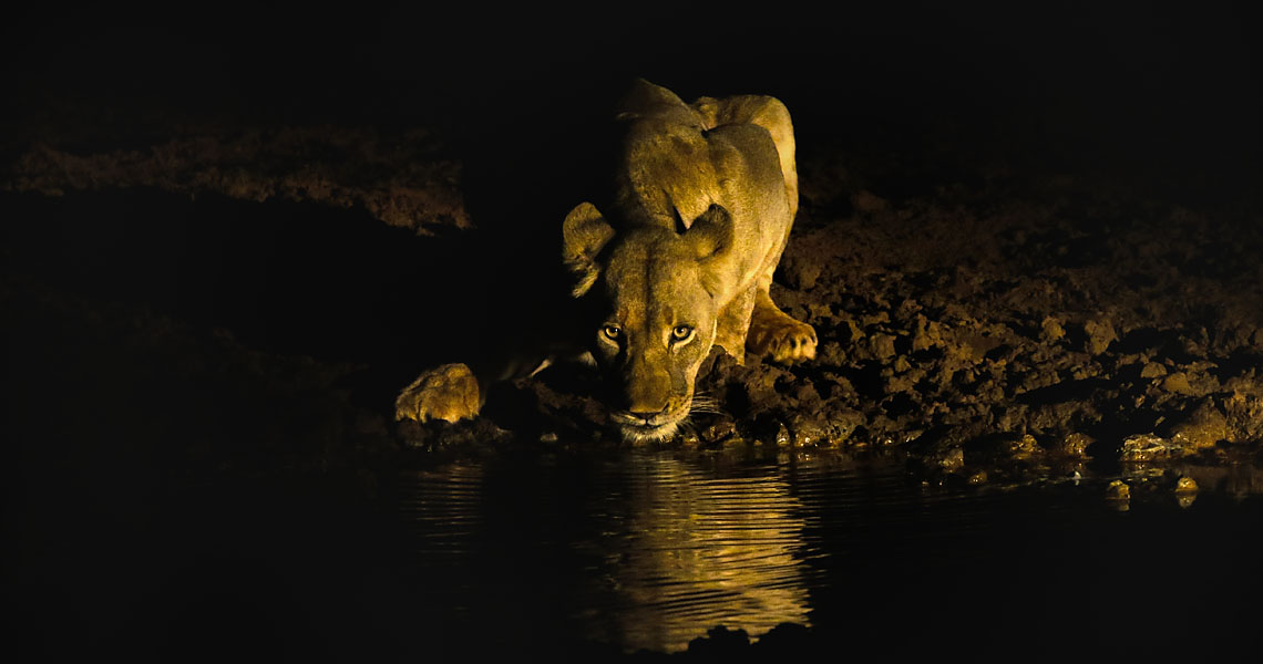 Lioness drinking at night