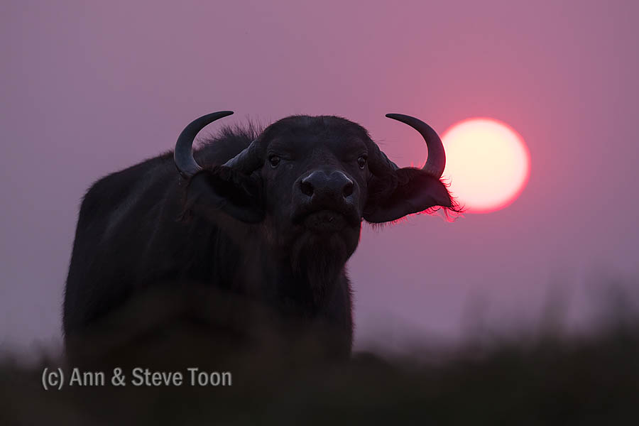 Cape buffalo at sunset, Chobe