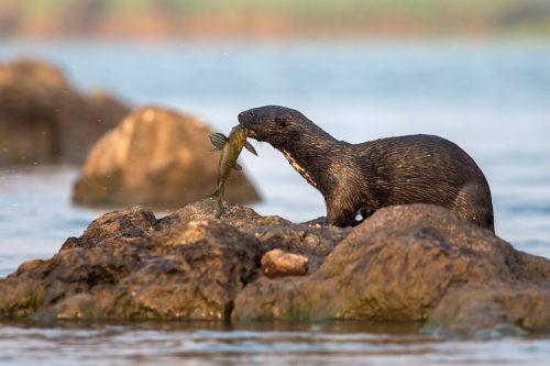 Spotted necked otter eating fish, Chobe River, Botswana