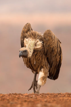 Whitebacked vulture, Zimanga