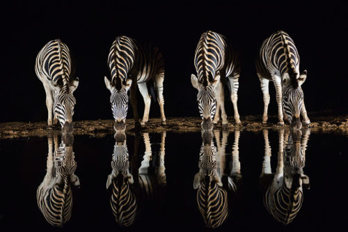 Plains zebra drinking at night, Zimanga