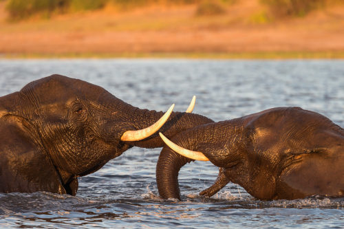 African elephants playfighting, Chobe River