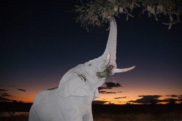African elephant, browsing at dusk, Etosha national park, Namibia
