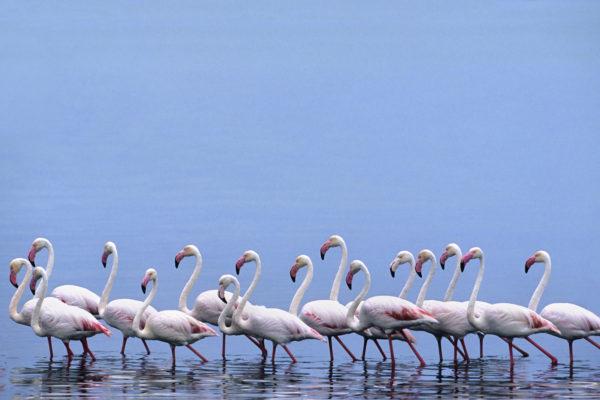Greater flamingoes, Walvis Bay, Namibia,