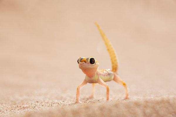 Webfooted gecko, Namib Desert, Namibia
