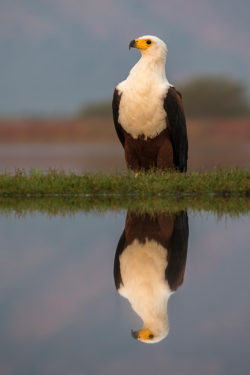 African fish eagle , Zimanga