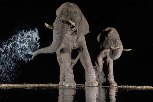 Elephants drinking at night, Zimanga