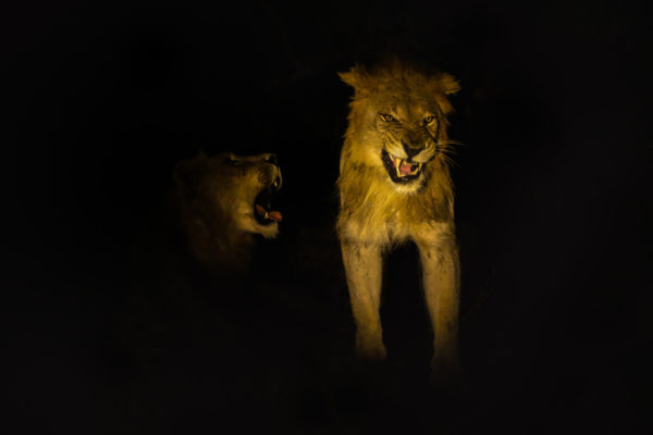 Lions (Panthera leo) at night, Zimanga private game reserve, KwaZulu-Natal, South Africa, May 2017