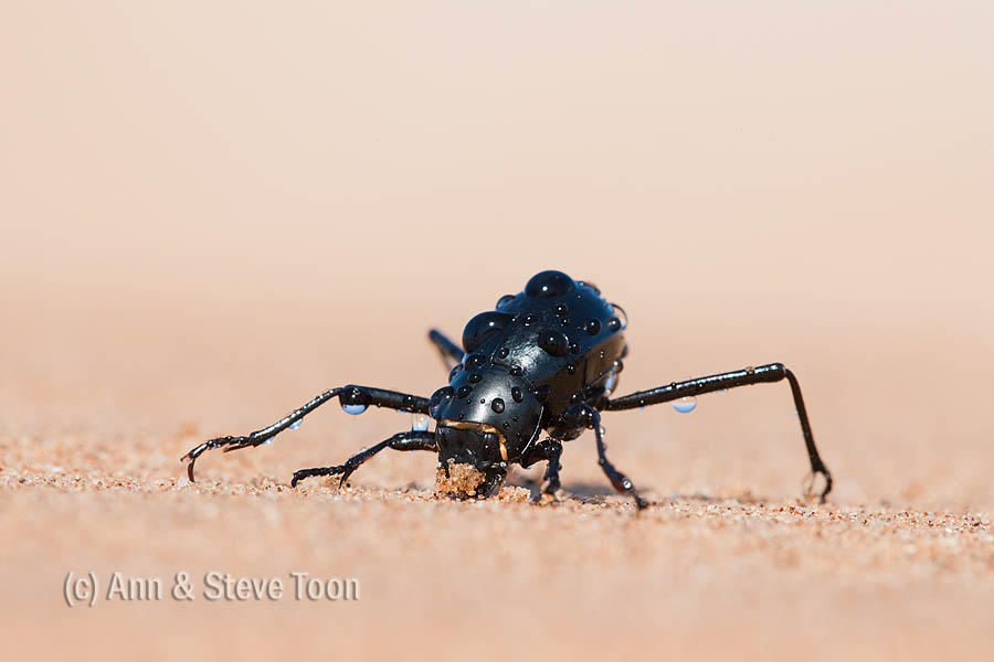Fog basking Tenebrionid beetle