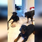 5 Rottweilers