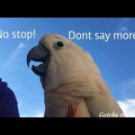 Gotcha The Cockatoo