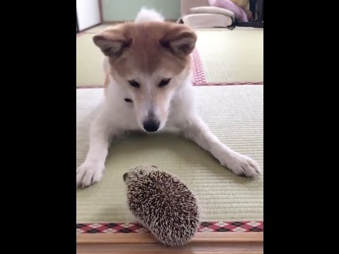 Shiba inu and the tiny hedgehog