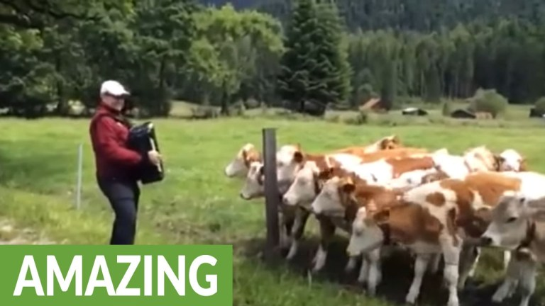Cows listen to accordion music
