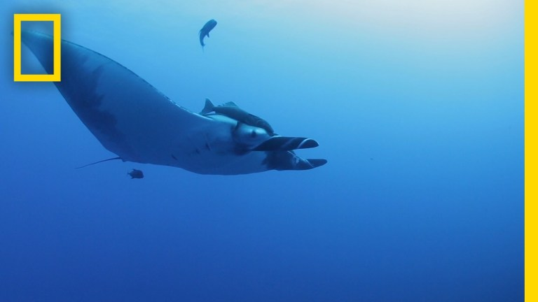 Researchers stick cameras to giant manta rays