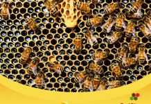 lebah madu