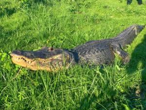 fl-gator1.jpg