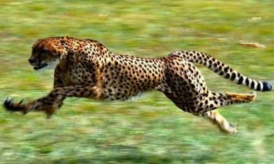 Top 10 animais mais rapidos do mundo