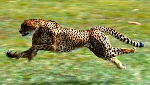 guepardo entre os animais mais rapidos