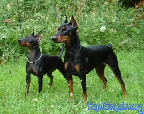 Doberman Pinscher um dos cachorros mais perigosos