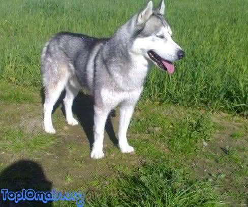 Siberian Husky entre os cachorros mais perigosos do mundo