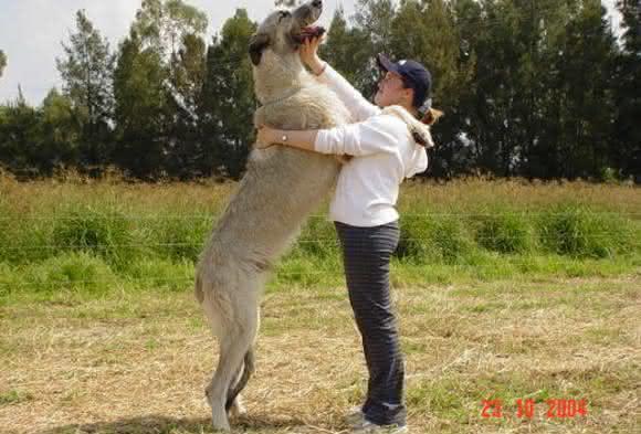 Wolfhound Irlandesa